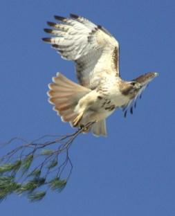 Red Tailed Hawk by John Harrison