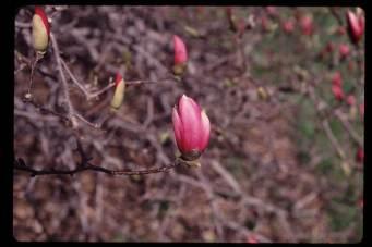 Magnolia 'Randy'