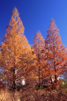 metasequoia-glyptostroboides-3-autumn