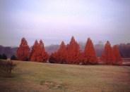 metasequoia-glyptostroboides-autumn-group