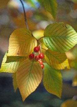Sorbus alnifolia lv fr close up