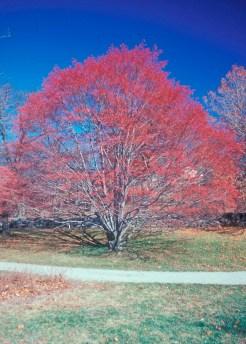 Sorbus alnifolia winter fr