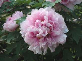 Tree-Peony-flower-01