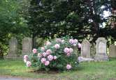 Tree Peony, Pine Avenue, Mount Auburn Cemetery