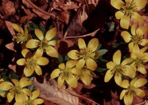 Eranthis hyemalis, winter aconite