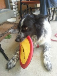 Dakota loves to play with frisbees