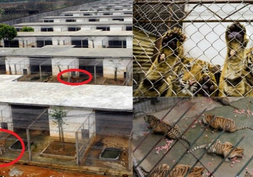 China is Farming 5000 to 6000 tigers for a horrific reason find out why