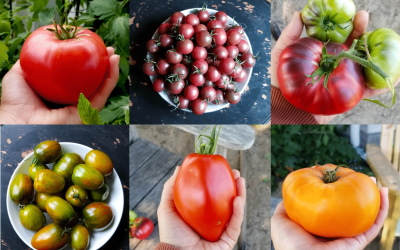 Why You Should Plant Different Varieties of Tomatoes