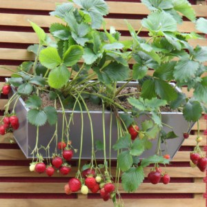 Easy way to Grow Strawberries in a small space