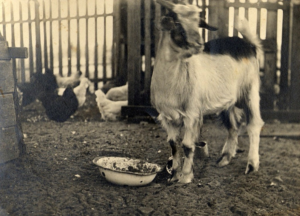 Nicholas family goat & chickens, probably 1919.