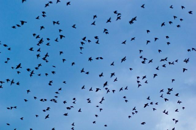 huge flock of birds overhead