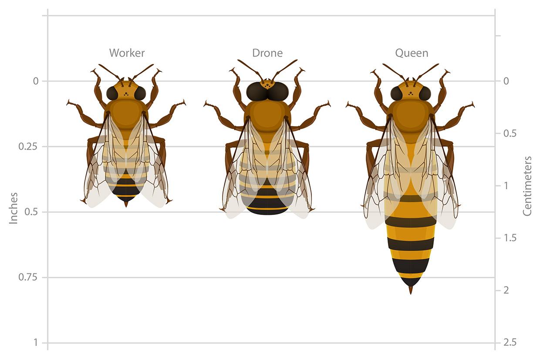 Bee Anatomy Worksheet