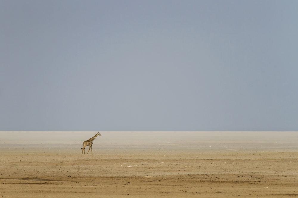 Giraffes at Etosha National Park, Namibia