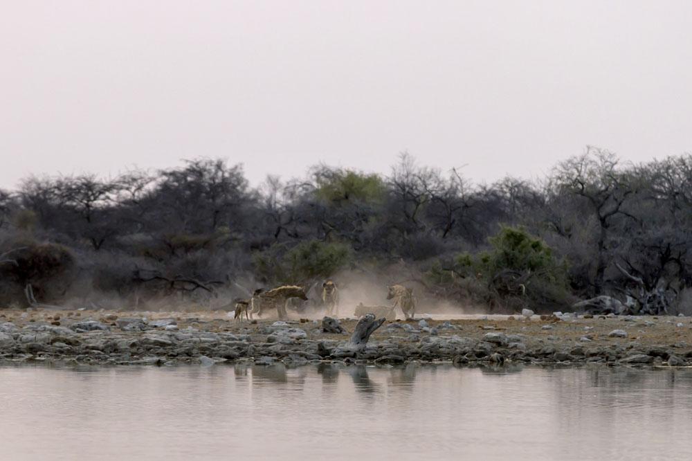 Hyenas at Etosha National Park, Namibia