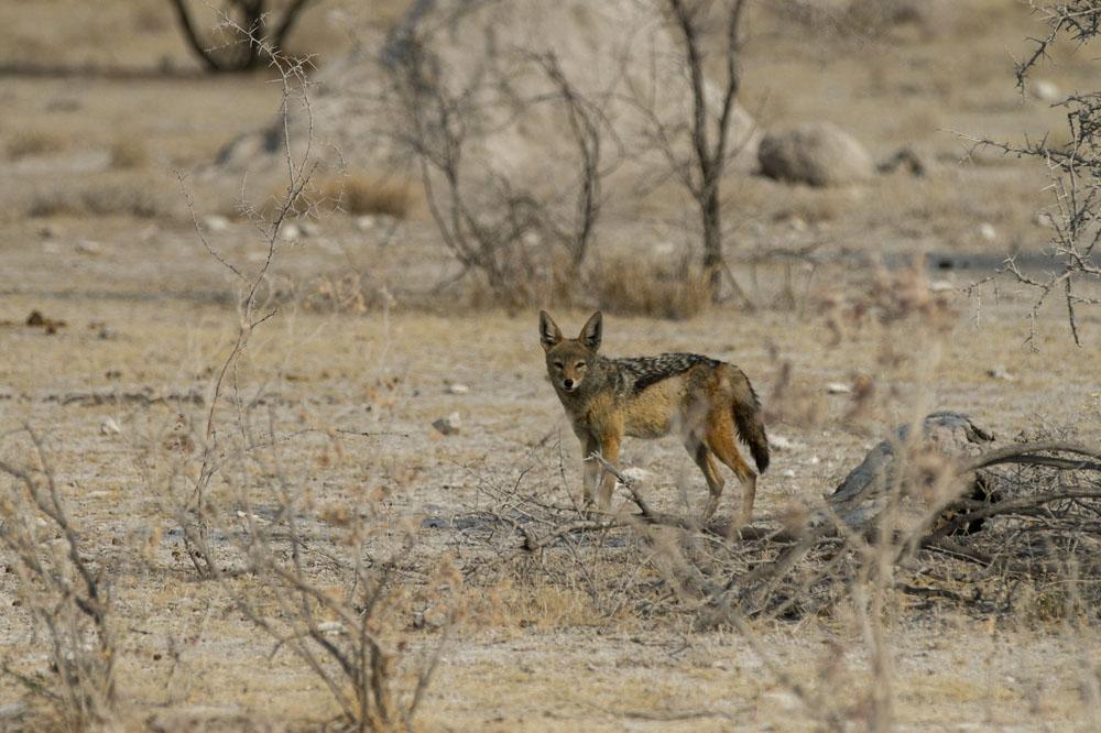 Jackals at Etosha National Park, Namibia
