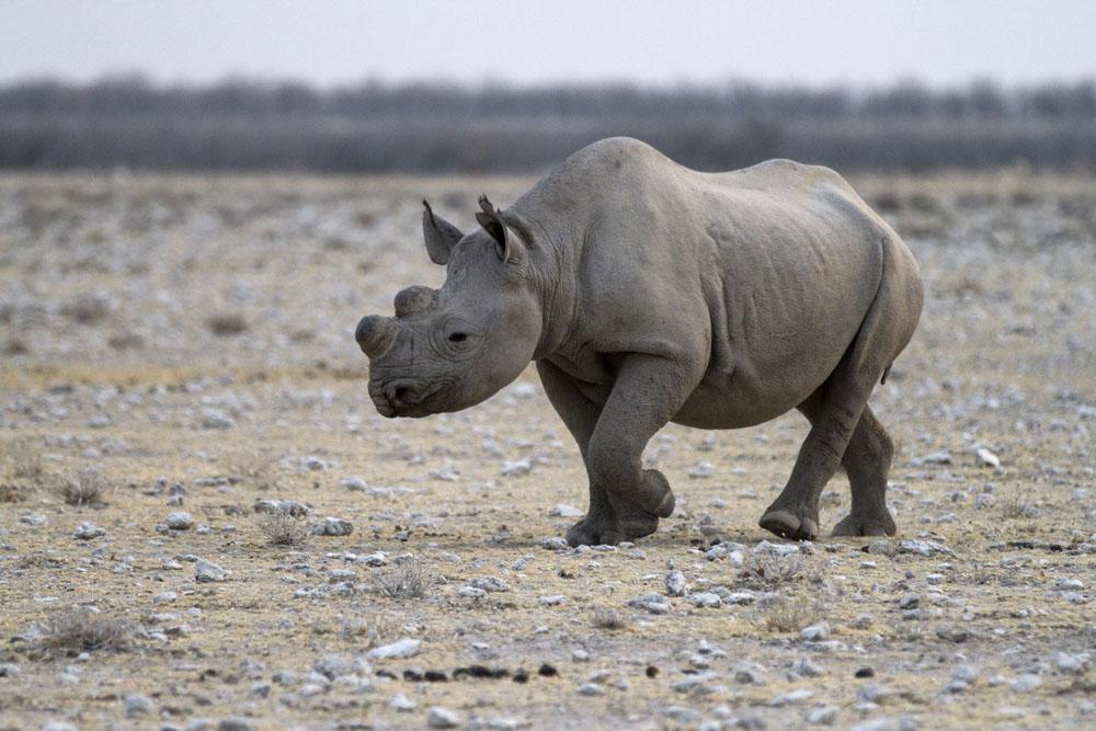 Rhinos at Etosha National Park, Namibia