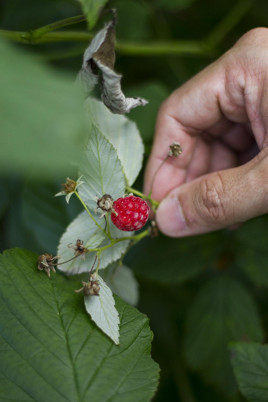 Raspberry picking during hike up to Preikestolen