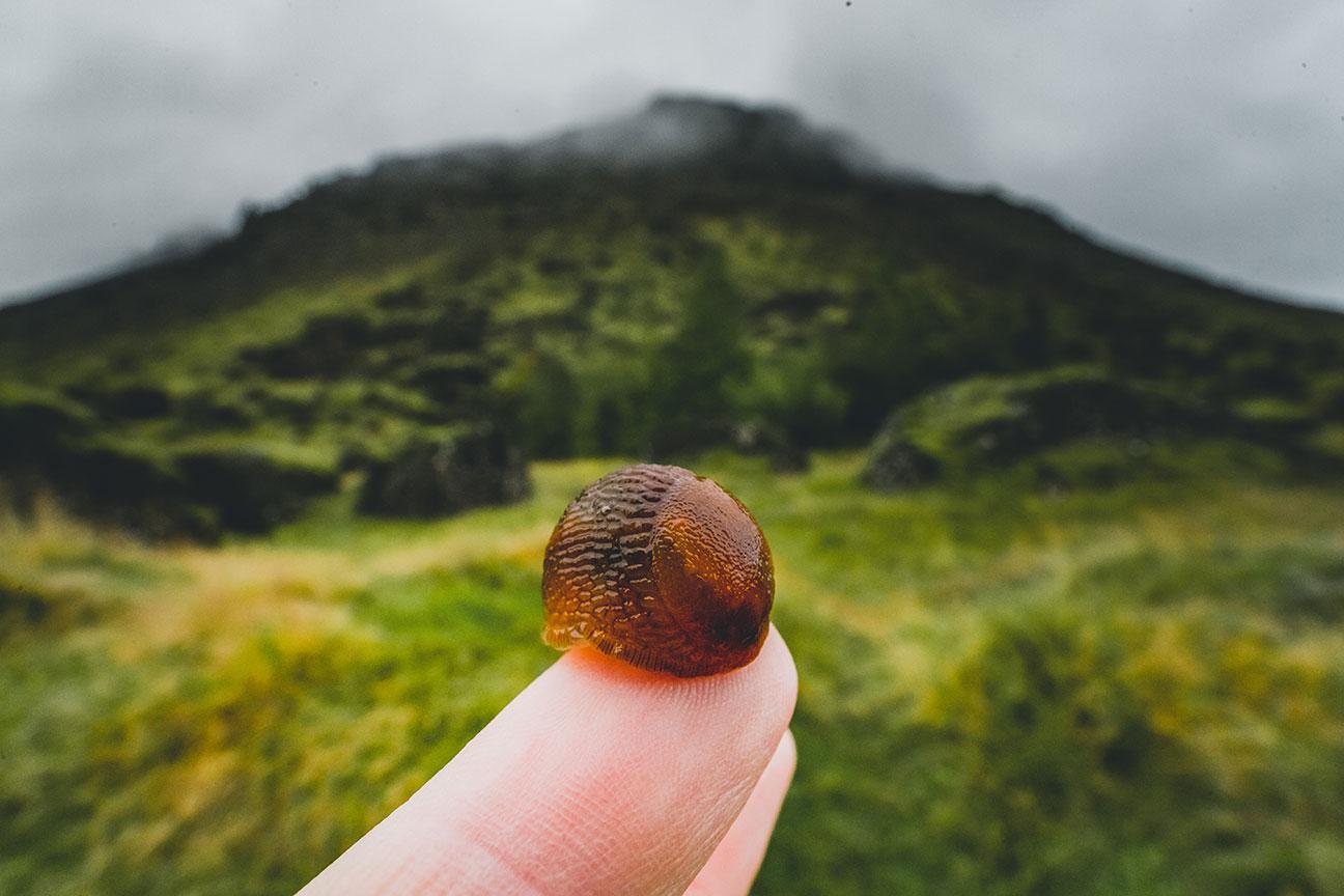 Icelandic Slug