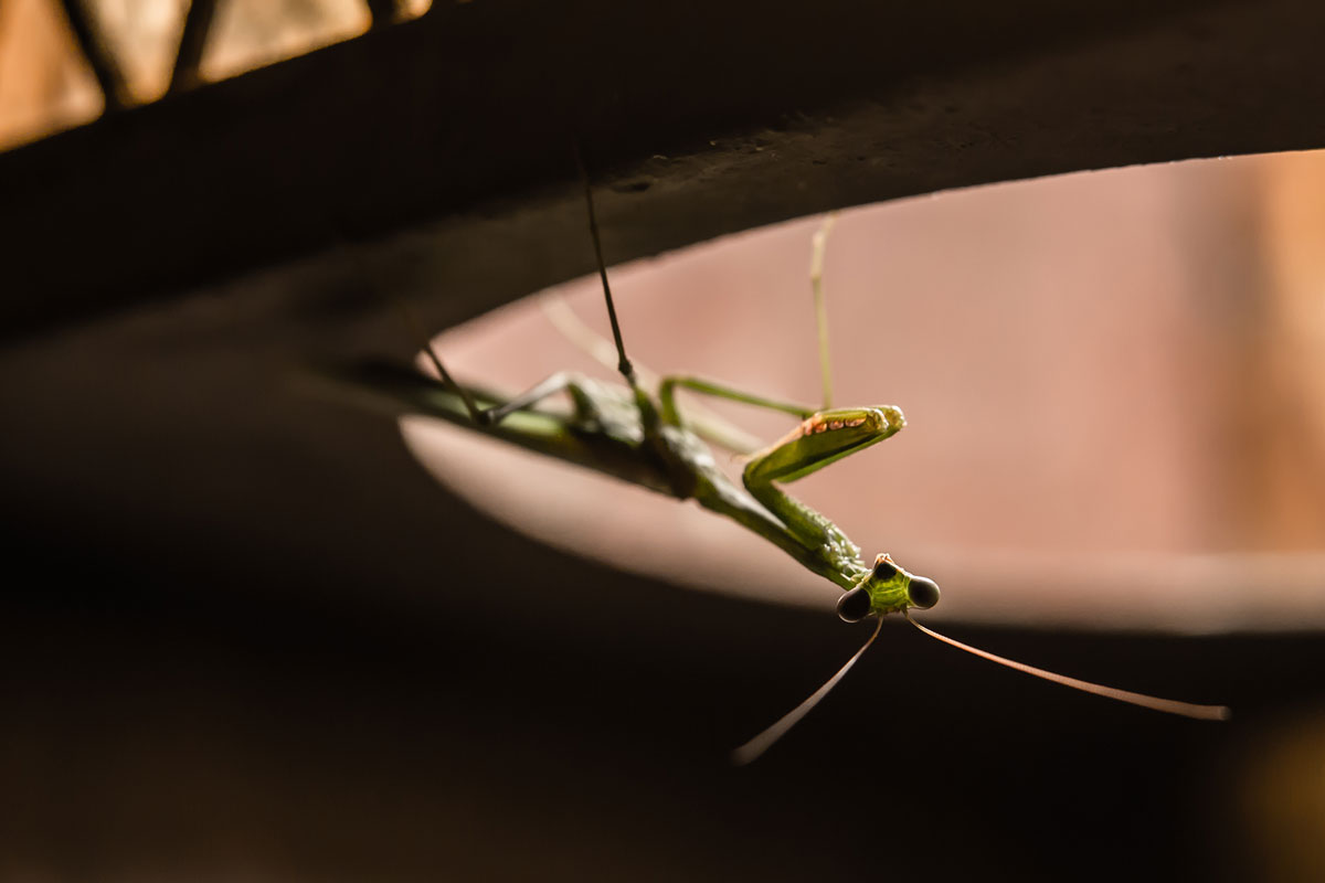 Mantis-Lady-17