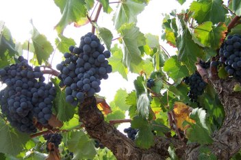 MATURE TEMPRANILLO GRAPES