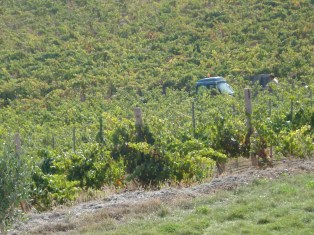 WORKING ON THE FIELDS TO GET THE BEST GRAPES