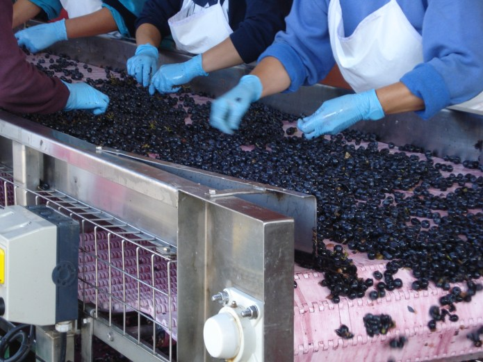 SORTING TABLE, SECRET OF THE WINE MAKING PROCESS