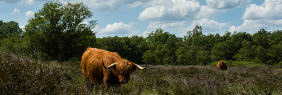 Two scots highland cattle standing on open gras field under a clouded sky in Gasterse Duinen, protected nature reserve, close to Gasteren, Drenthe, The Netherlands with dunes, heather and surrounding forest.