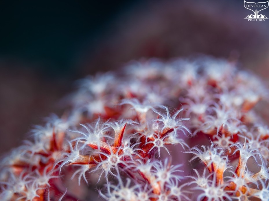 Photographing Art by nature: Underwater close-up of soft coral polys in red, purple and white