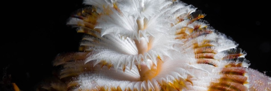 Photographing Art by nature: Underwater marco shot of two Christmas Tree Worms right behind each other sticking out of a hard coral (brown and white before black background)
