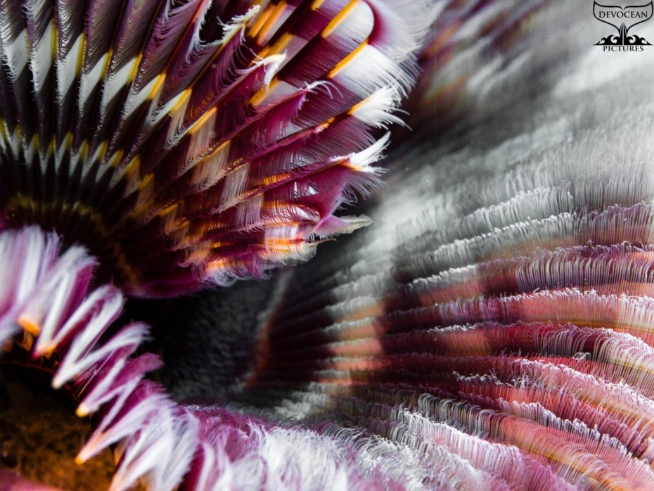Photographing Art by nature: Underwater close-up to highlight beautiful colours, grooves and filigrane texture of a tube worm (in pink, purple, orange, white)