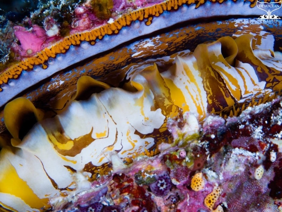 Photographing Art by nature: underwater close-up of spiny oyster with trippy colouration and pattern
