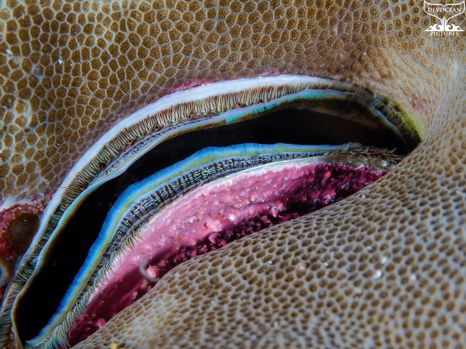 Coral Clam inside of hard coral