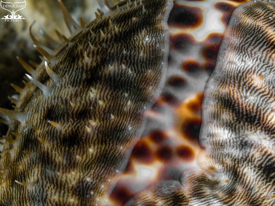 Photographing Art by nature: Underwater close-up of a Tiger Cowry having the striped mantel obver the white shell with black and brown dots.
