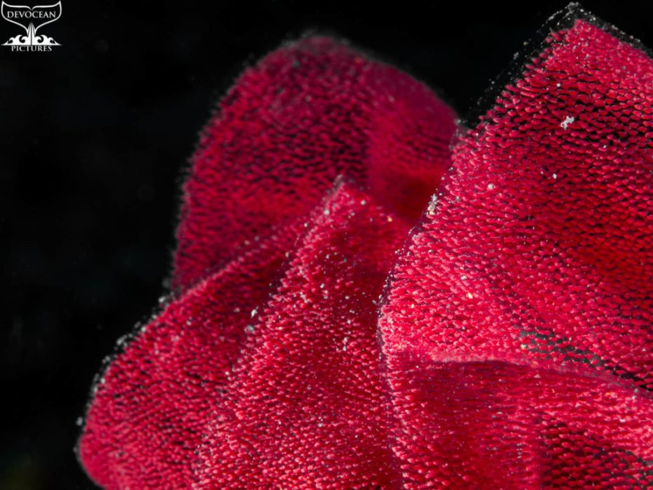 Photographing Art by nature: Underwater close-up of egg casing in form of a red ribbon laid by Spanish Dancer against black background