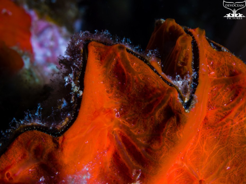 Underwater close-up for Art by nature: Zigzag Oyster covered in encrusting sponge or tunicate in bright red. Veins and pores are clearly visible.