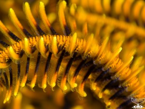 Underwater close-up of the arm of a crinoid, also called feather stars (class Crinoidea) in black and orange to yellow. The feathery pinnules on the arms are clearly visible and are used to catch planktonic particles (Wakatobi, Indonesia)..