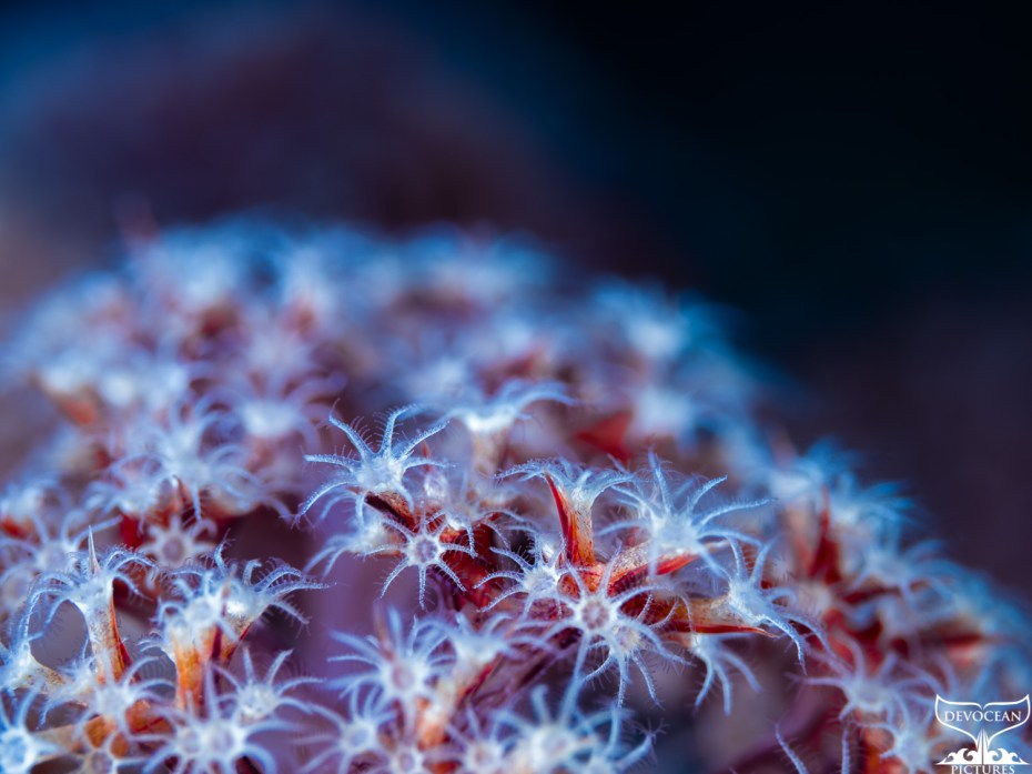 Underwater close-up of the polyps of a soft coral (family Dendronephthya). Body in white annd re with a blue glow over the polyps, clearly visible eight arms with feathery tentacles of each polyp used to catch floating plankton (Wakatobi, Indonesia).