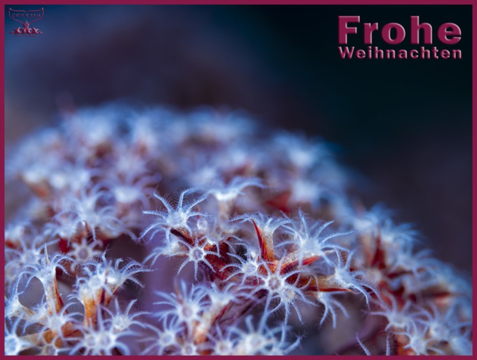 Christmas card with warm regards from Devocean Pictures: Underwater close-up of soft coral polys (family Dendronephthya) in red, purple and white with blue hue over it. Text: Frohe Weinachten.