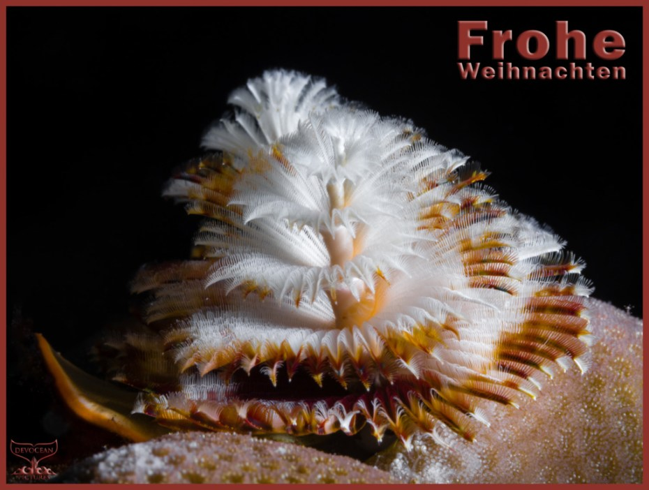 Christmas card with warm regards from Devocean Pictures: Underwater marco shot of two Christmas Tree Worms (Spirobranchus giganteus) right behind each other sticking out of a hard coral (brown and white before black background). Text: Frohe Weihnachten.