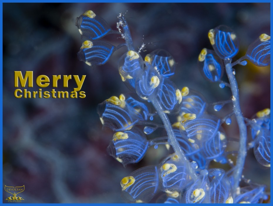 Christmas card with warm regards from Devocean Pictures: Underwater macro shot of Namei Tunicate (Blue Bell Sea Squirt / Perophora namei)in blue and yellow with tiny skeleton shrimps before background with blue-purple pattern. Text: Merry Christmas.