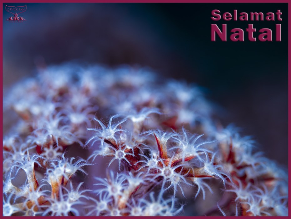 Christmas card with warm regards from Devocean Pictures: Underwater close-up of soft coral polys (family Dendronephthya) in red, purple and white with blue hue over it. Text: Selamat Natal.