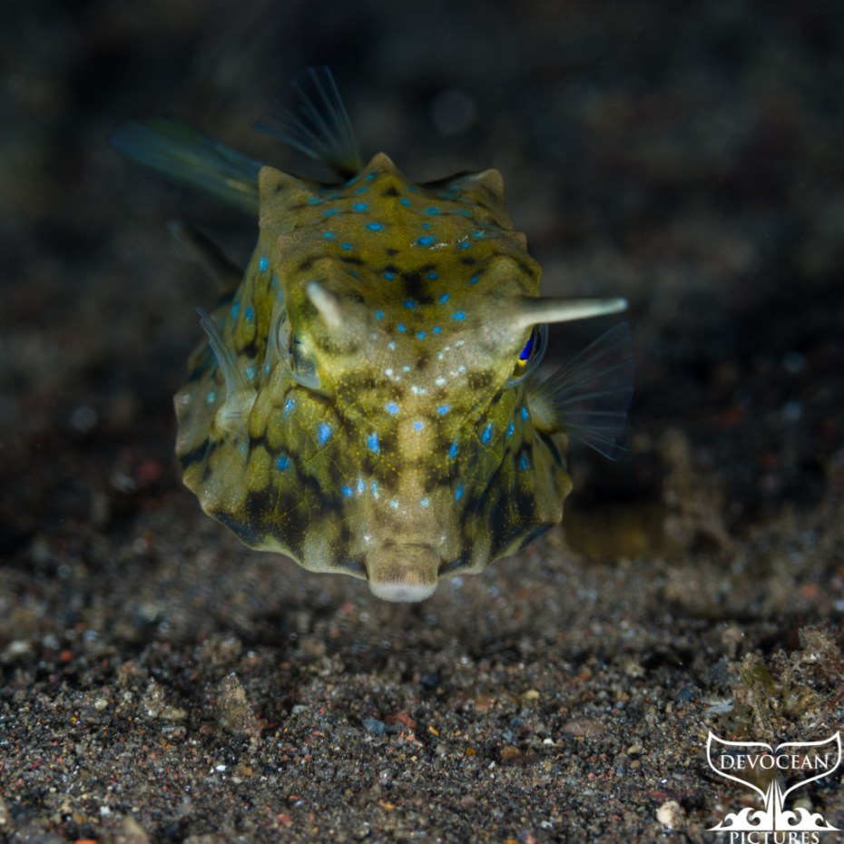 Underwater macro shot: Longhorn cowfish, Lactoria cornuta is also sometimes called horned boxfish. Green-yellow with dark and blue spots horns are raised right towards the camera.