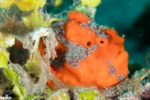Side portrait of red painted frogfish (Antennarius pictus) itting next to algae - photographed at Lipah Beach (Bunutan, Bali, Indonesia)