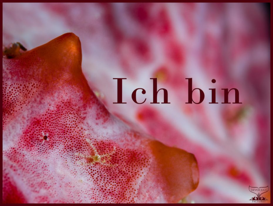 """Underwater close-up of collonial tunicate. Red and white with little speckles / pores and two pronounced openings. Tiny brittle star living within. Prepared as postcard """"Ich bin"""" and logo of Devocean Pictures."""