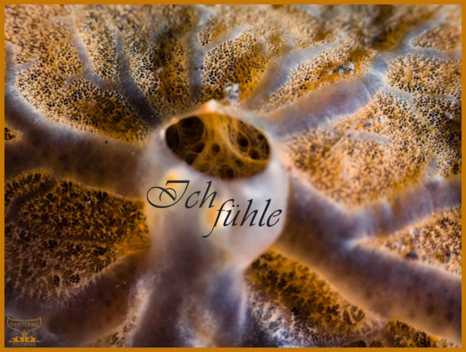 "Underwater close-up of an encrusting sponge: Orange with veins and opening (pore) in the centre. Prepared as postcard ""Ich fühle"" and logo of Devocean Pictures."