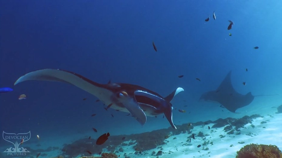 "screenshot from ""Take a minute to relax"" with two Reef Manta Rays (Mobula alfredi) circling over the sandy bottom at manta point, komodo, indonesia. Manta rays have mostly dark, black to blue, backs and white belliies with grey towards the wing tips and dark spots as individual markings."