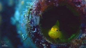 """Screenshot of """"Take a Minnute to Relax"""": Yellow pygmy goby (Lubricogobius exiguus), a member of the family of Gobiidae. Small bright yellow goby living in a plastic bottle in Lembeh, Indonesia."""