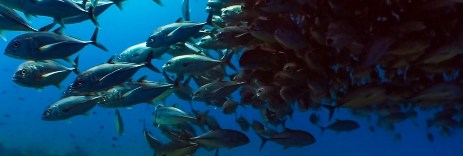 """Screenshot of an episode of """"Take a Minute to Relax"""": Bigeye trevally (Caranx sexfasciatus). A school of bigeye trevallies or jacks is gathering in the blue water just next to the reef. These big silvery and shiny fish hang out to rest during the day while some of them are getting cleaned (the ones on the reef top itself)."""
