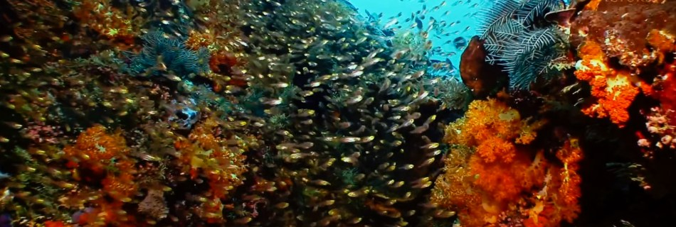 """Screenshot from video clip """"Take a Minute to Relax"""": Golden Sweepers (Parapriacanthus ransonneti). Yellow/Golden Sweeper, Pygmy sweeper, Golden/Yellow Bullseye, and Golden Glassfish, just to name a few. Several species of Parapriacanthus are often huddled together under the same banner of """"Glassfish"""", as they're partially transparent. They have a rather compressed, silvery pink translucent body with a greenish golden head and large eyes, showing a faint dark horizontal streak starting from the upper part of their gill cover to below the rear end of their dorsal fin. They hurdle together and sweep in and out of the colourful reef with soft and hard corals in Komodo National Park in Indonesia."""