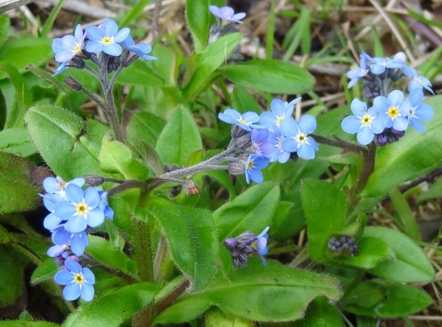 Wood (or field?) forget-me-not
